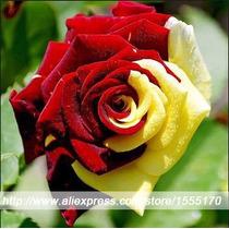 10 Semente De Rosa Vermelha E Amarela (raras) + Frete Gratis