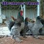 Ovos Galados Galinhas Ornamentais - Raça Pura