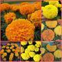 Sementes Da Flor Tagetes Africano Gigante Sortido Fretgrátis