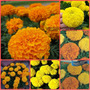 130 Sementes Da Flor Tagetes Africano Gigante Cravo Defunto