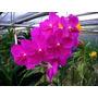 Orquídea Vanda Rosa Adulta+ Cachepo Caixa De Madeira Durável