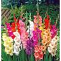 10 Bulbos Gladiolo Variados