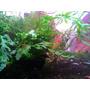 Planta Bolbits Heudelotii. Muda Com 4 A 6 Folhas