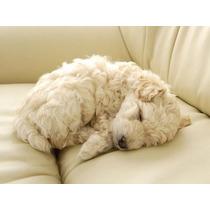 Lindos Filhotes De Poodle, Só Com A Pet Store