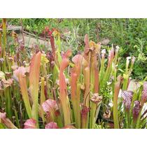 Sementes De Plantas Carnivoras ( Sarracenia) 5,00 Pacote