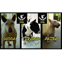 Filhotes Macho De Bull Terrier Legítimo!! Tiranoxshidda