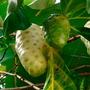 Noni Uma Fruta Extraordinária