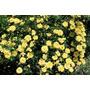 50 Sementes De Rosas Trepadeira Amarela Pra Fazer Mudas