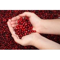 Cereja Americana Cranberry Sementes Fruta Para Mudas