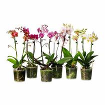 Orquídeas Phalaenopsis Várias Cores