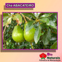 Chá De Abacateiro - Ajuda A Vesícula A Liberar A Bile - 1*