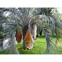 Muda De Palmeira Butiá Com 150 Cm De Altura