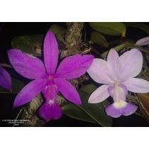 Cattleya Walkeriana Tipo Rubra Nativa