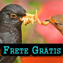 1300 Larvas Tenébrios Molitor Frete Grátis + Cálcio Brinde