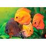 Ração Hormônio Crescimento Peixe Ornamental Aquário Import.