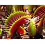 Semente Planta Carnívora Dionaea