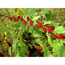 Espinafre Morango - Chenopodium Sementes Hortaliças P/ Mudas