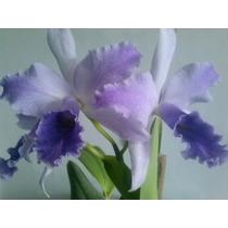 Mudas De Orquideas Cathleias ,varias Cores!!!