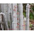 Sementes Cactos Cleistocactus Strausii Cactus Flor Mudas