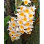 C Orquídea Dendrobium Thyrsiflorum Já Floresce!