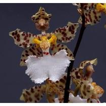 Orquidea Oncidium Jonesianum Planta De Coleção.