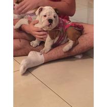 Filhotes De Bulldog Ingles A Pronta, Os Mais Lindos