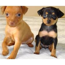 Lindos Filhotes De Pinscher, Só Com A Pet Store