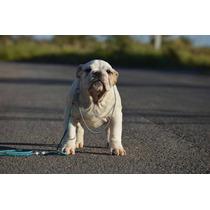 Bulldog Ingles Macho,lindos Filhotes Com Pedigree Cbkc