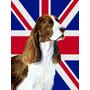 Springer Spaniel Inglês Com Union Jack Bandeira Britânica