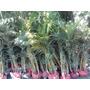 Mudas De Palmeira Areca Bambu De 1,00mt