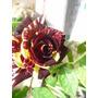 Muda De Rosa Meteoro - Mudas De 40cm Com Flores - Lindas !!!