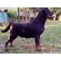 Rottweiler N.1 Df 2015 Myla Von Rottland Filhote Disponível.