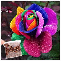 Kit 10 Sementes De Rosa Arco-iris