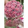 Muda De Flor De Cera Hoya Pubicalix Silver Pink - 50 Cm