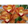 Muda Orquídeas Cymbidium Laranja Botões De Flores