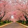 Cerejeira Japonesa - P. Serrulata - Mudas De 1mt