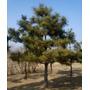 Sementes De Pinheiro Negro Para Mudas Árvore Ou Bonsai