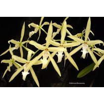 Mudas De Miltonia Flavecens - Orquídea