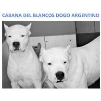 Dogo Argentino, Filhote Macho Totalmente Branco