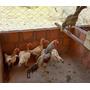 Ovos De Galinhas Shamo Puras X Galo Shamo Paquistan - N° 3