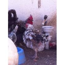 Ovos Galados -galinhas Garninzé Dvs