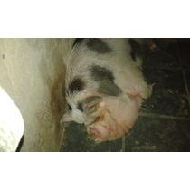 Mini Porco Fêmea Com 3 Anos