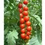 Legumes - Sementes De Tomate Cereja Samambaia