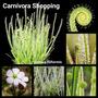 Sementes Planta Carnívora Drosera Filiformis Grátis Subst.
