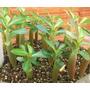 Rosa-do-deserto Adenium Obesum 20 Mudas Várias Cores