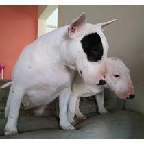Filhote De Bull Terrier Diferenciados