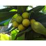 15 Sementes De Abricó Da Praia Fruta/ornamental/frete Grátis
