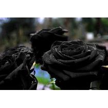 50 Sementes Rosa Preta Negra Exótica Rara + Frete Grátis!!