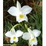 Mudas De Orquídea Bambu Arundina Branca Da Terra Flor