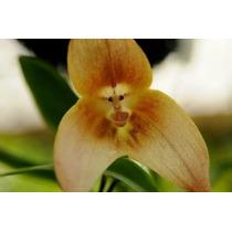 10 Sementes Oquidia Cara De Macaco Planta Flores Bonsai Rosa